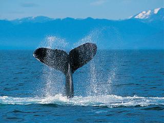 8 Марта -Ежегодное помешательство!-humpback-whale.jpg