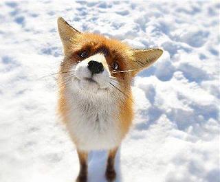 Приколы из интернета-fox.jpg