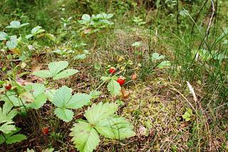 Тихая охота. Грибы, ягоды...-dsc06384.jpg